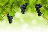 Bunch of green vine leaves. Collage of vine leaves and blue grapes on white background stock photos