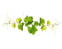 Bunch of green vine leaves stock images