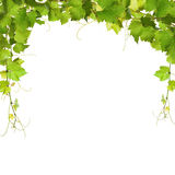 Bunch of green vine leaves and grapes vine Stock Photo