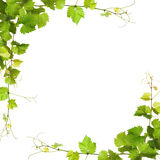 Bunch of green vine leaves and grapes vine Stock Photography