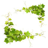 Bunch of green vine leaves and grapes vine Royalty Free Stock Images