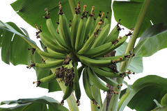Bunch of green young bananas. Shot of a head of green young bananas bunch growing on tree in Thailand Stock Photography