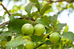 Bunch of guava fruits and leaf in a tree Stock Photography