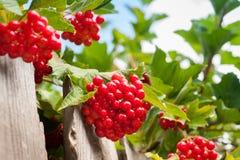 Bunch of guelder-rose(viburnum) berries on the blue sky backgrou Stock Image