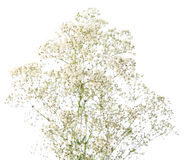 Bunch of Gypsophila Stock Images