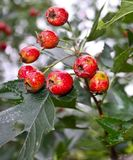 Bunch of hawthorn fruit, blood red Royalty Free Stock Images