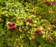 Bunch of hawthorn full with berries Royalty Free Stock Image