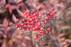 Bunch of hawthorn red berries. On the branch Royalty Free Stock Photography
