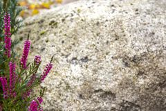 A branch of pink heather on a gray stone background closeup stock photo