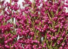 Bunch of heather. Pink flowers, macro Stock Photography