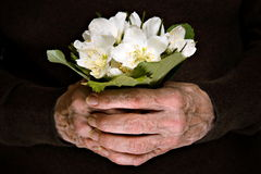 A bunch of hellebore flowers in senior hands Royalty Free Stock Photography