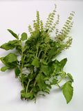 Bunch of holy basil leaves royalty free stock images