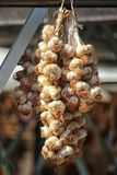 Bunch of home grown organic garlic from a familiy farm hanging stock photography