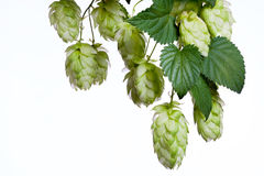 Bunch of hops Stock Photo