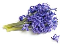 Bunch of hyacinth Stock Photos