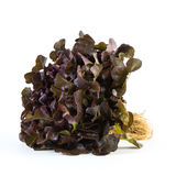 Red oak lettuce Royalty Free Stock Photo