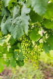 Bunch of immature grapes on in a vineyard Royalty Free Stock Photography