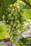 Bunch of immature wine grapes hanging on a branch in the vineyard, grapes green leaves royalty free stock photo