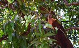 Bunch of Indian Alphonso Mangoes on Mango Tree - Mangifera Indica. This is a photograph of bunches of unripe Indian alphonso mangoes hanging from mango tree Stock Image