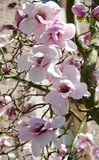 A bunch of Iolanthe magnolia flowers Stock Images
