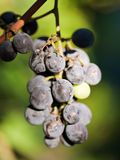 Bunch of Isabella grapes in vineyard Royalty Free Stock Photos