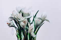 A bunch of isolated white crocus flowers in bloom royalty free stock photo