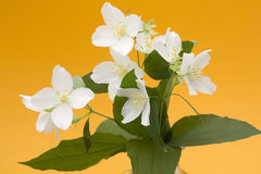 Bunch of jasmine flowers Royalty Free Stock Photos