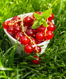 Bunch of juicy fresh redcurrants Stock Photo