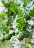 Bunch of Kaffir Lime on bergamot tree Royalty Free Stock Photos