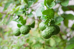 Bunch of Kaffir Lime on bergamot tree Stock Images