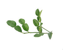 Bunch of Kaffir lime leaf-Thai ingredient food Royalty Free Stock Photos