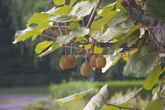 A bunch of kiwis ripening in a garden in Switzerland. Kiwifruit ripening on a woody wine in Switzerland royalty free stock images