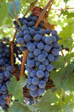 Bunch of Lambrusco Grapes. Grapes used to make Lambrusco, red sparkling wine Royalty Free Stock Images