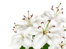 Bunch of large white lilies isolated Stock Image