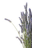 Bunch of lavander Royalty Free Stock Photos