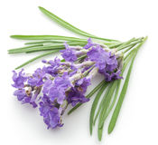 Bunch of lavandula or lavender flowers. Royalty Free Stock Photography