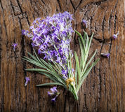 Bunch of lavandula or lavender flowers. Royalty Free Stock Photos
