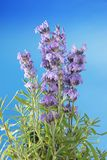 Bunch of lavender Royalty Free Stock Image