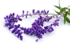 Bunch of lavender. Over white Stock Photo