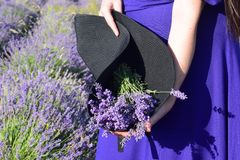 A bunch of lavender in a black hat held in the hands of a girl against the background of a lavender field.The concept of beauty. stock photography