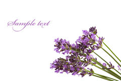 Bunch of lavender flowers Stock Image