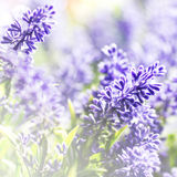 Bunch of Lavender Flowers background Stock Images