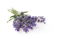 Bunch of lavender flowers isolated over white background. The Bunch of lavender flowers isolated over white background royalty free stock photography