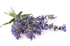 Bunch of Lavender flowers isolated on white background. The Bunch of Lavender flowers isolated on white background royalty free stock photography