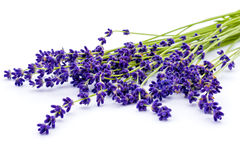 Bunch of lavender flowers isolated on white. Calmness and relaxation. Stock Photo