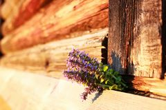 Bunch of lavender flowers on summer evening sunset. Bunch of lavender flowers on a summer evening sunsetr Stock Photos