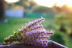 Bunch of lavender flowers on summer evening sunset. Bunch of lavender flowers on a summer evening sunsetr Stock Image