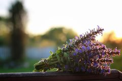 Bunch of lavender flowers on summer evening sunset. Bunch of lavender flowers on a summer evening sunsetr Royalty Free Stock Photography