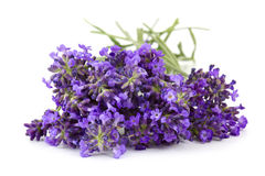 Bunch of lavender flowers. On white background royalty free stock photos