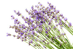 Bunch of lavender flowers on white background. Lavender flowers on white background royalty free stock image